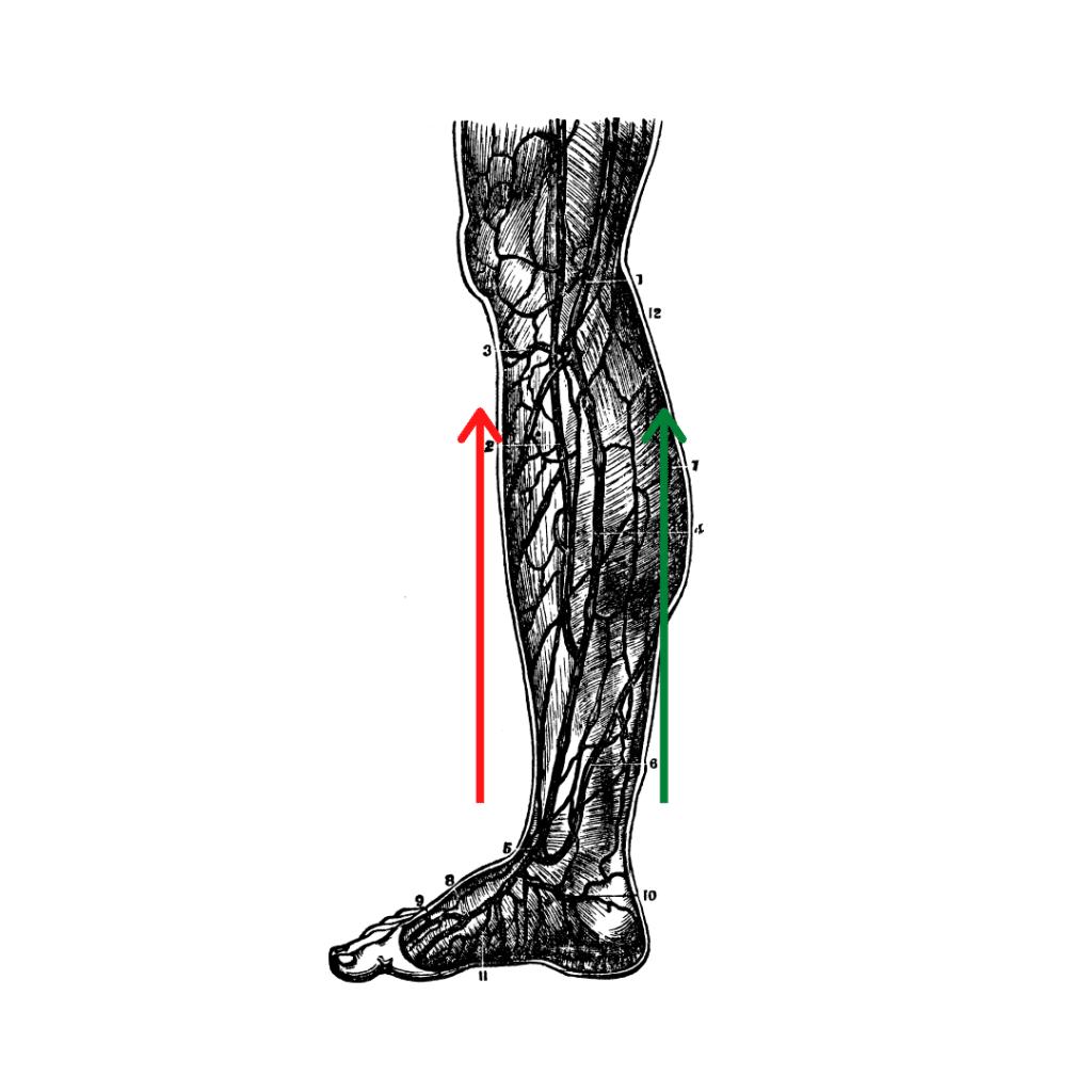 L'action des muscles de la jambe sur le pied