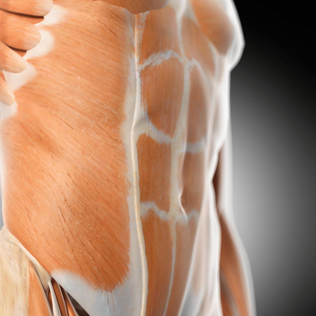 Les muscles abdominaux sont allongés